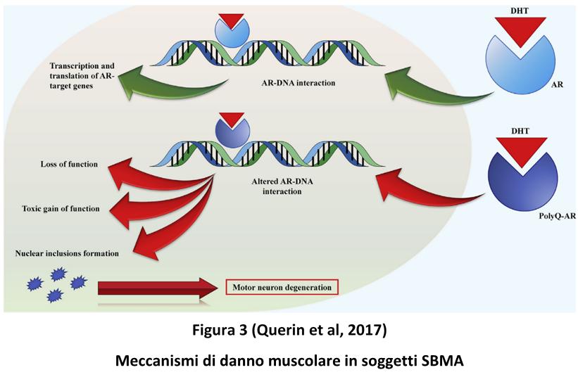 Meccanismi di danno muscolare in soggetti SBMA
